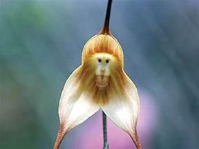 monkey orchid monkey flowers wallpapers hd wallpapers