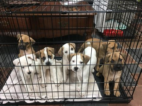 puppy rescue houston houston puppies roar helps rescue harvey s victims the ridgefield press