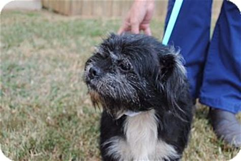 shih tzu rescue dc washington dc shih tzu schnauzer miniature mix meet eli etaa a for adoption