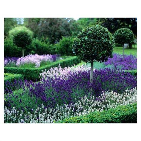 lavender beds lavender beds flowers lavender love pinterest