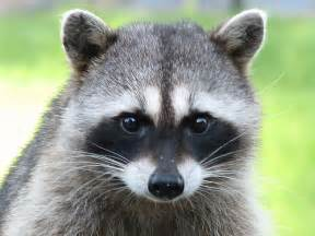 what color are raccoons raccoons on the spot pest