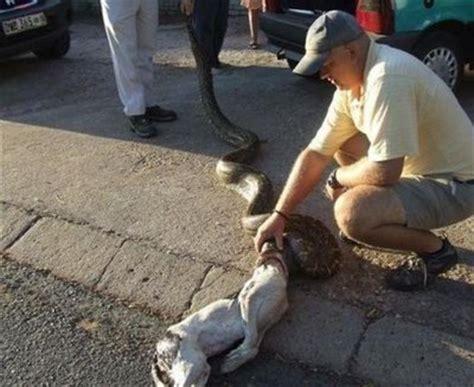 snake eats puppy anacondas crocodiles and other creatures animals animals