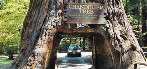 chandelier tree in the drive thru tree park chandelier drive thru tree park leggett ca california