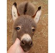 These Miniature Donkeys Might Possibly Be The Cutest Thing