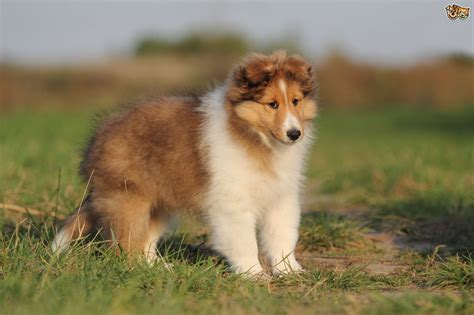 Do Shelties Shed by Shetland Sheepdog Breed Information Buying Advice Photos And More Pets4homes