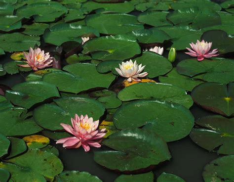 water lilies mdc discover nature