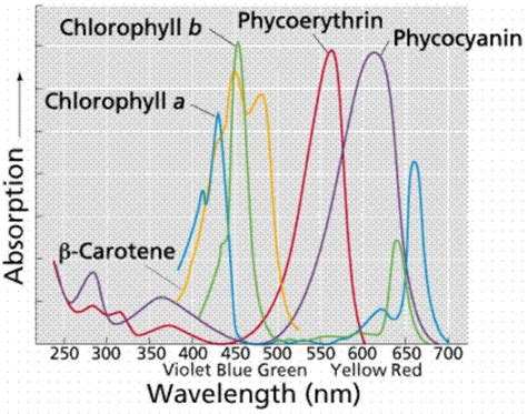the absorption of light by photosynthetic pigments worksheet answers the nature of light
