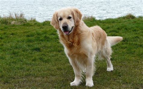 signs of cancer in golden retrievers cushing s disease in dogs canna pet