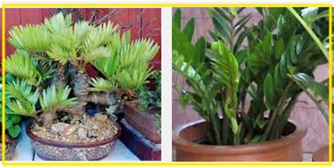 Zamia Kulkas memilih bibit tanaman hias berkualitas unggul tanaman