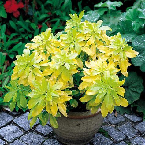 Plants Pests And Diseases - buy choisya ternata sundance j parker dutch bulbs