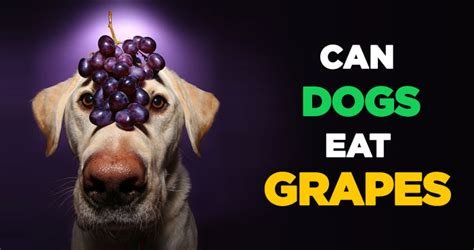 can dogs eat raisins can dogs eat grapes raisin the alarm on grape toxicity in pups