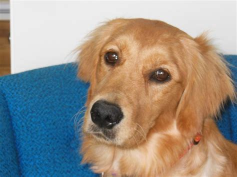 tumors in golden retrievers pin by hartz on pets in the news