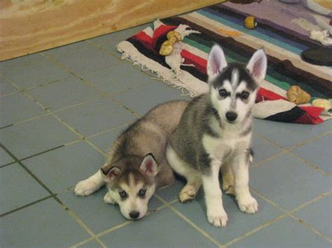 wolf hybrid puppies adoption ckc wolf hybrid puppies for sale adoption from lebanon tennessee adpost