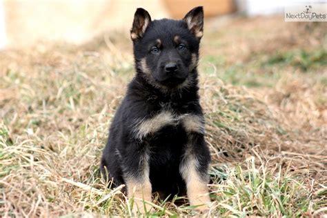 german pinscher puppies for sale german pinscher puppy for sale near lancaster pennsylvania 29f5c195 4351