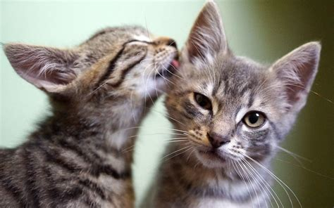 adoption island top ten where can i adopt a cat kittens wallpapers