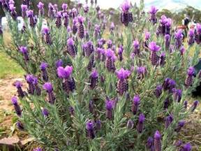 Hardest Plants To Grow lavender pictures photos information amp images of