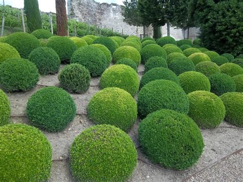 best topiary plants and trees for your garden topiary