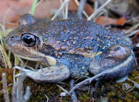 Eastern Banjo Frog | Biodiversity of the Western Volcanic ... Invertebrates Animals Names