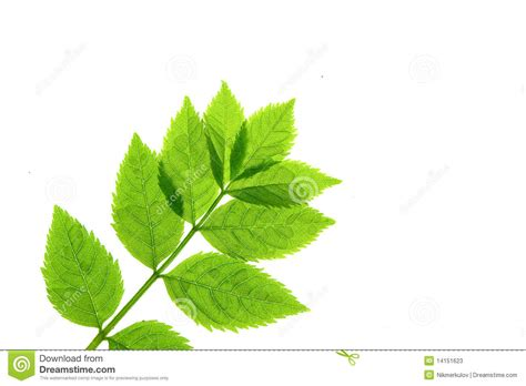 stem with green leaves stock photos image 14151623