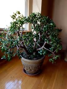 Feng Shui Jade Plant Front Door by Jade Plants Are Amazing Feng Shui That Rocks