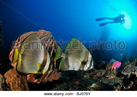 Cvo Bj Zebra Abu batfish stock photos batfish stock images alamy