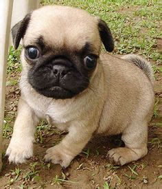 hypoallergenic pug best 25 hypoallergenic breed ideas on small hypoallergenic dogs best