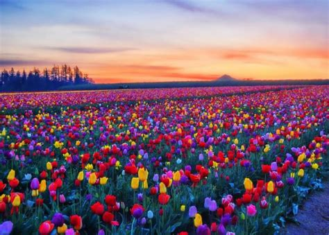 tulip fields tulip fields skagit valley washington amazing pinterest
