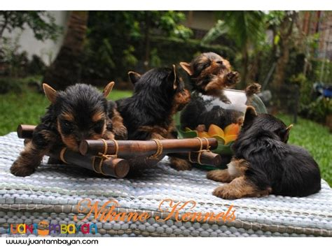 yorkie puppies for sale philippines terrier yorkie puppies for sale para 241 aque juantambayan free