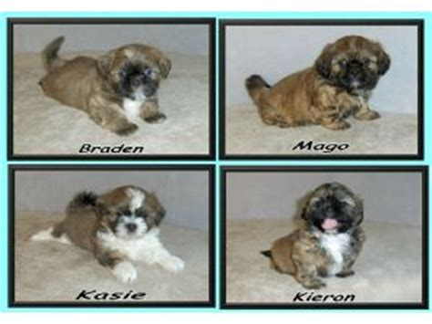 pupcity puppies for sale shih tzu puppies for adoption in sc