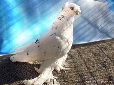 uzbek pigeons pigeon photos album 2008 collection of uzbek pigeons russia siberia