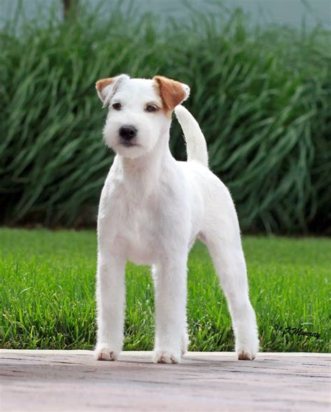 parson terrier puppies parson terrier puppies for sale foxbend parson terriers