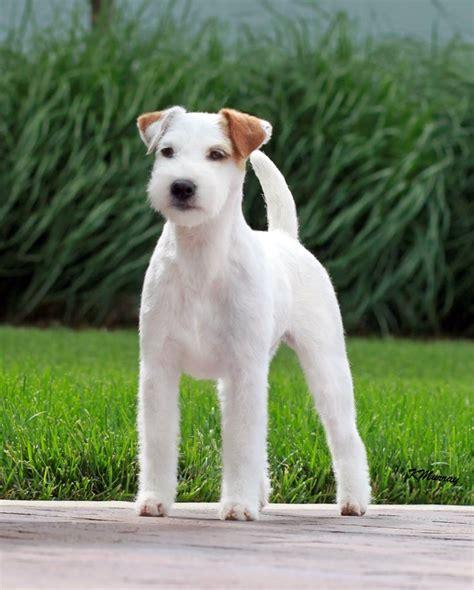 parson puppies for sale parson terrier puppies for sale foxbend parson terriers