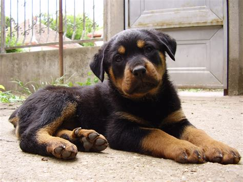 rottweiler puppy guide rottweiler pictures gallery breeders guide