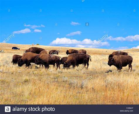 amerikanischer herd american bison buffalo side view stockfotos american