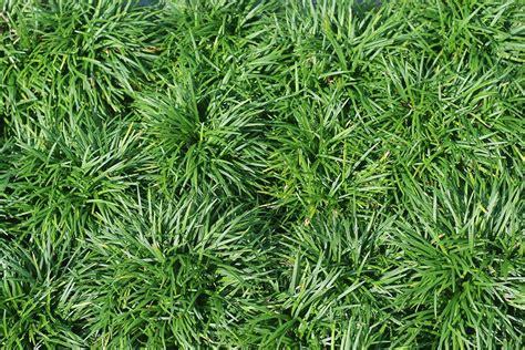 dwarf mondo grass live plant size 1 gallon ebay