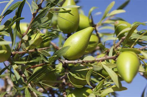 argan fruit argania spinosa photograph by johnny greig - Argan Tree Fruit