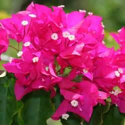 Bougainvillea sp bougainvillea pink flowers