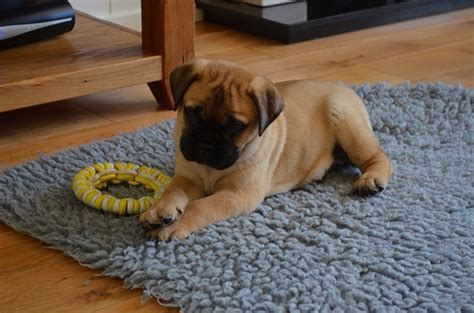 puppies for sale california bullmastiff puppies for sale in california akc registered vet checked breeds picture