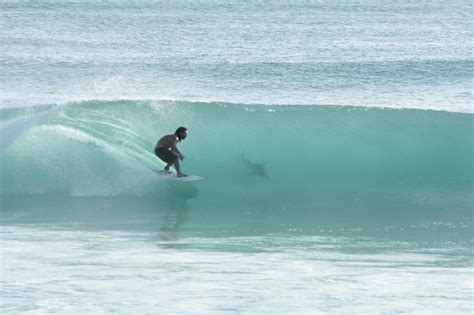 Surfing Florida surfing with a shark juno florida surfing with dolphins co sharks