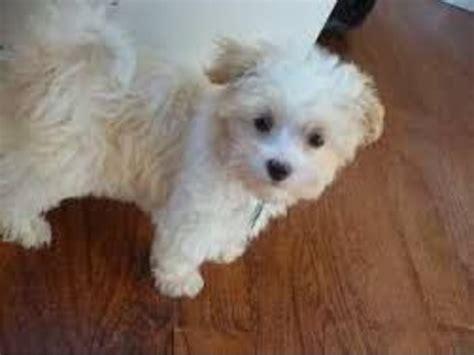 free maltipoo puppies free maltipoo puppies animals eastport maine announcement 31775
