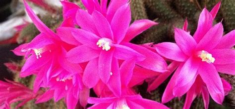 piante grasse in casa piante grasse le variet 192 pi 217 di cactus da tenere in