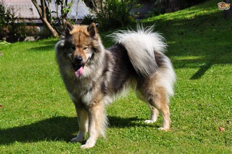 how is a puppy is the eurasier a choice of pet pets4homes