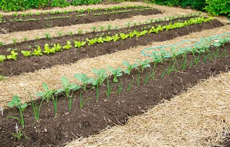 do you mulch a vegetable garden