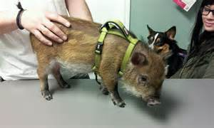 look at our newest pot belly pig patient valley view pet health center 972 247 2242