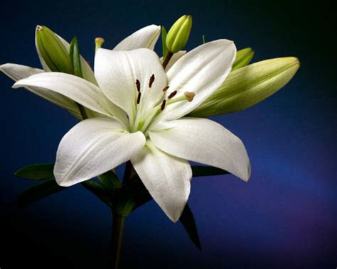 beautiful white lily flower hd wallpaper wallpaperscom