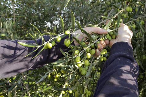 ma part delle 97 una vera esperienza rurale la raccolta delle olive