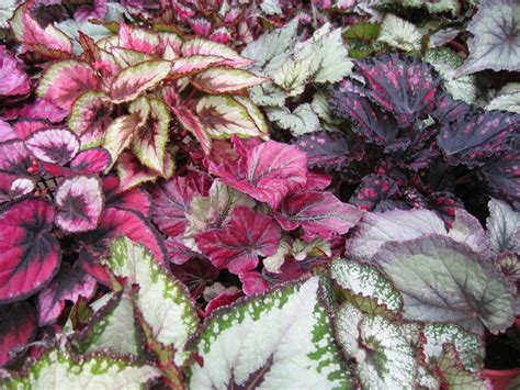 different types of begonia leaf cool foliage pinterest