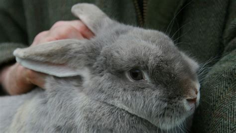 rabbits  good pets  children celia haddon