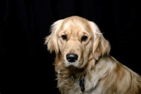 golden retriever drool slobber drool black background stock image image 38453467