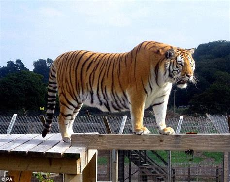 Tiger Is A Scaredy Cat i ve got ver tigger the scaredy cat who is afraid of